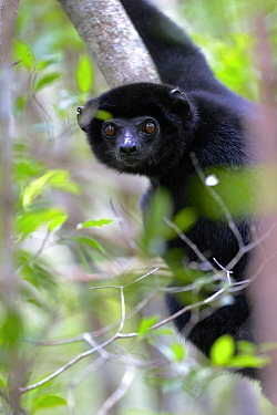 Perrier's sifaka (Propithecus perrieri). Analamera National Park, Madagascar.