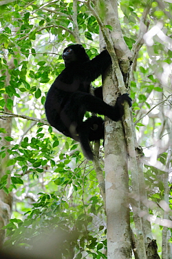 Perrier's sifaka (Propithecus perrieri) climbing tree in forest. Analamera National Park, Madagascar.