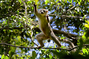 Crowned lemur (Eulemur coronatus) jumping in forest canopy. Analamera National Park, Madagascar.