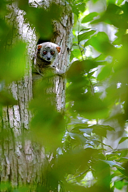 Ankarana sportive lemur (Lepilemur ankaranensis) looking out from hole in tree. Analamera National Park, Madagascar.