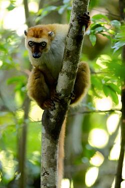 Blue-eyed lemur (Eulemur flavifrons) female climbing tree, looking at camera with curiosity. Sahamalaza, Madagascar.