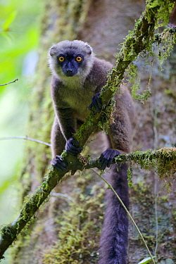 White-fronted brown lemur (Eulemur albifrons) perched in tree, looking at camera. Rainforests of the Atsinanana, Marojejy National Park, Madagascar.