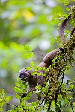 White-fronted brown lemur (Eulemur albifrons) eating leaf in tree. Rainforests of the Atsinanana, Marojejy National Park, Madagascar.