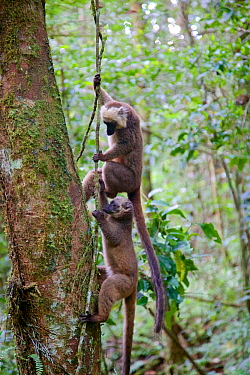 White-fronted brown lemur (Eulemur albifrons) two climbing up vine in forest. Rainforests of the Atsinanana, Marojejy National Park, Madagascar.