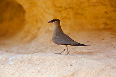 Madagascan pratincole (Glareola ocularis) walking on rock ledge. Tsingy de Bemaraha National Park, Madagascar.