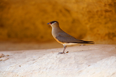 Madagascan pratincole (Glareola ocularis) standing on rock ledge. Tsingy de Bemaraha National Park, Madagascar.
