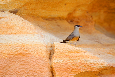 Madagascan pratincole (Glareola ocularis) standing on shelf in rockface. Tsingy de Bemaraha National Park, Madagascar.