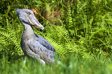 Shoebill stork (Balaeniceps rex) in the swamps of Mabamba, Lake Victoria, Uganda, February.