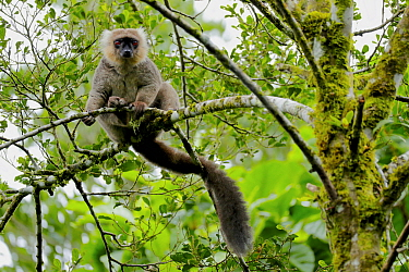 Sonford's brown lemur (Eulemur sanfordi) sitting in tree. Montagne D'Ambre National Park, Madagascar.