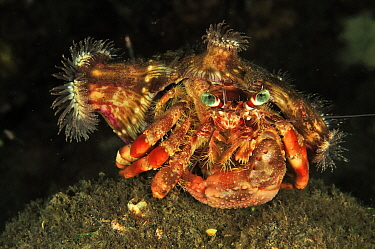 Coral hermit crab (Dardanus pedunculatus) with sea anemones on its shell - the anemones get better feeding opportunities from extra mobility, the crab gains extra protection. Sulu Sea, Philippines. Me...