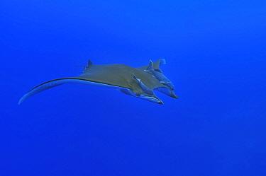 Sicklefin devil ray or Chilean devil ray (Mobula tarapacana) with two shark suckers (Remora remora) Azores, Atlantic Ocean.