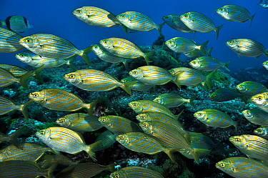School of Cow breams (Sarpa salpa ) Azores, Atlantic ocean.
