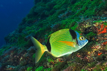 Common two-banded sea bream (Diplodus vulgaris) Azores, Atlantic ocean.