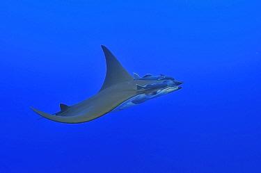 Sicklefin devil ray / Chilean devil ray (Mobula tarapacana) with two shark suckers (Remora remora) Azores, Atlantic Ocean.