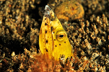 Black finned snake eel (Ophichthus melanochir) buried in the sand, Sulu Sea, Philippines