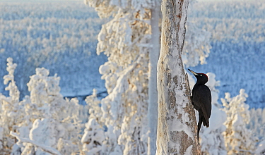 Black woodpecker (Dryocopus martius) male perched on tree trunk, trees covered in hoar frost. Kuusamo, Northern Ostrobothnia, Finland. February.