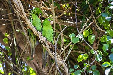 Cuban parakeets (Psittacara euops) .Bermejas, Cuba. Endemic.