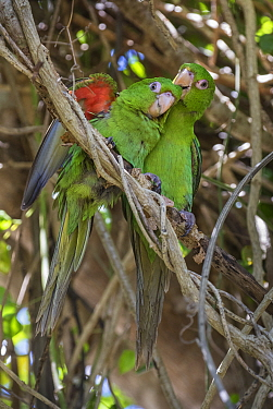 Cuban parakeet (Psittacara euops) preening, Bermejas, Cuba. Endemic.