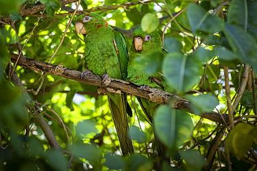 Cuban Parakeet (Psittacara euops) perched, Cuba. Endemic.