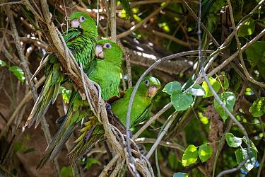 Cuban Parakeets (Psittacara euops) group perched, Cuba