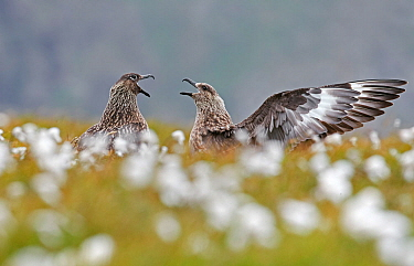 Great skua (Catharacta skua), two in courtship display. Shetland, Scotland, UK. July.