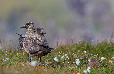 Great Skua (Stercorarius skua) pair standing in grassland with chick. Shetland, Scotland, UK. July.