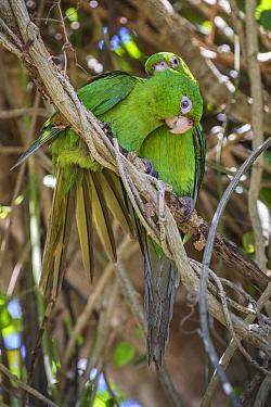 Cuban parakeet (Psittacara euops) preening each other Bermejas, Cuba. Endemic.