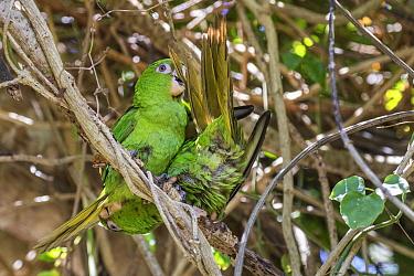 Cuban parakeet (Psittacara euops) preening each other .Bermejas, Cuba. Endemic.
