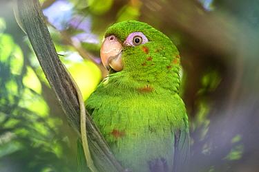 Cuban parakeet (Psittacara euops) Bermejas, Cuba.