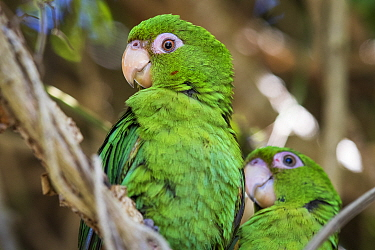 Cuban parakeets (Psittacara euops) Bermejas, Cuba. Endemic.