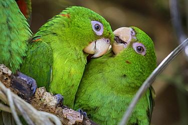 Cuban parakeets (Psittacara euops) preening each other, Bermejas, Cuba. Endemic.