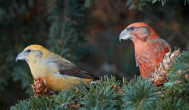 Common crossbill (Loxia curvirostra) juvenile male( left) and Parrot crossbill (Loxia pytyopsittacus) in Fir tree. Helsinki, Finland. December.