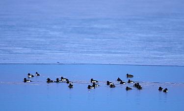 Tufted duck (Aythya fuligula) flock on sea. Uto, Paragas, Finland. March.