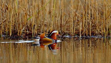 Mandarin duck drake (Aix galericulata) swimming through a reedbed, Southwest London, UK, November.