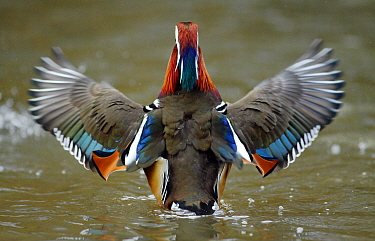 Mandarin duck drake (Aix galericulata) from behind flapping its wings. Southwest London, UK. February.