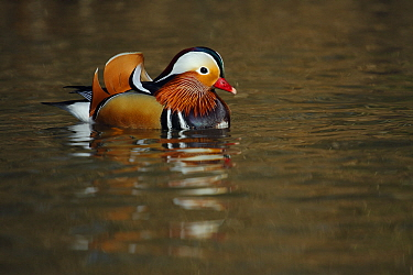 Mandarin duck drake (Aix galericulata) floating on the water, Southwest London, UK, March.
