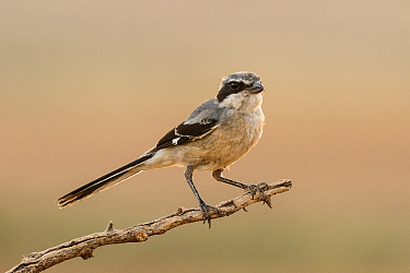 Grey shrike (Lanius meridionalis) perched, Navarra province. Spain, July.