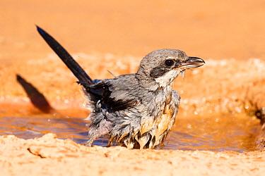 Grey shrike (Lanius meridionalis) bathing, Navarra province. Spain, July.