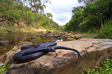 Red-bellied Blacksnake (Pseudechis porphyriacus) basking on rock, Lerderderg Gorge, Victoria, Australia, February.