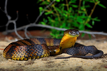 Eastern Tiger Snake (Notechis scutatus) female, from coastal sand dunesn in the south western corner of Victoria, Australia.