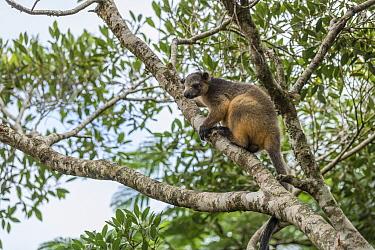 Lumholtz tree kangaroo (Dendrolagus lumholtzi) walking on tree trunks in the rainforest. Lumholtz Lodge, Atherton Tablelands, Queensland, Australia.