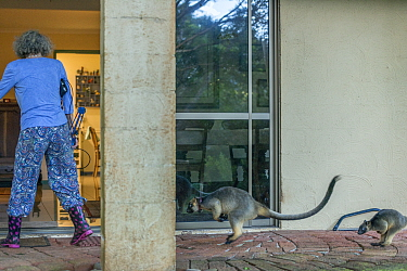 Margit Cianelli with hand raised Lumholtz tree kangaroo (Dendrolagus lumholtzi) 'Kimberley' and her semi wild son 'Monty' following her into the house after a day out in the forest. Lu...