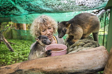 Wildlife carer Margit Cianelli with young Lumholtz's tree-kangaroo (Dendrolagus lumholtzi) in secure outside exercise area. Lumholtz Lodge, Atherton Tablelands, Queensland, Australia. Model releas...