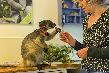 Wildlife carer Margit Cianelli feeding radio collared Lumholtz's tree-kangaroo (Dendrolagus lumholtzi) 'Kimberley'. This young tree kangaroo has been radio collared to allow it to explore...