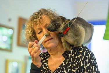 Margit Cianelli wildlife carer feeding radio collared Lumholtz's tree-kangaroo (Dendrolagus lumholtzi) 'Kimberley'. This young tree kangaroo has been radio collared to allow it to explore...