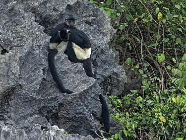 Delacour's langurs (Trachypithecus delacouri) restin, Van Long Nature Reserve,Ninh Binh, Vietnam. Critically endangered
