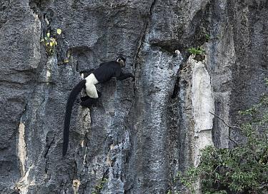 Delacour's langurs (Trachypithecus delacouri) Van Long Nature Reserve, Ninh Binh, Vietnam. Critically endangered
