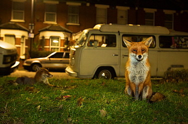 Red foxes (Vulpes Vulpes) on grass next to road with parked vehicles, North London, England UK