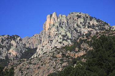 Corsican pine trees (Pinus nigra laricio) growing on the Col de Bavella, Parc Naturel Regional de Corse, Corsica, France, April 2010.
