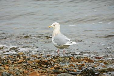 Iceland gull (Larus glaucoides) on the shore, Sound of Jura Islay, Argyll and Bute, Scotland, UK, November